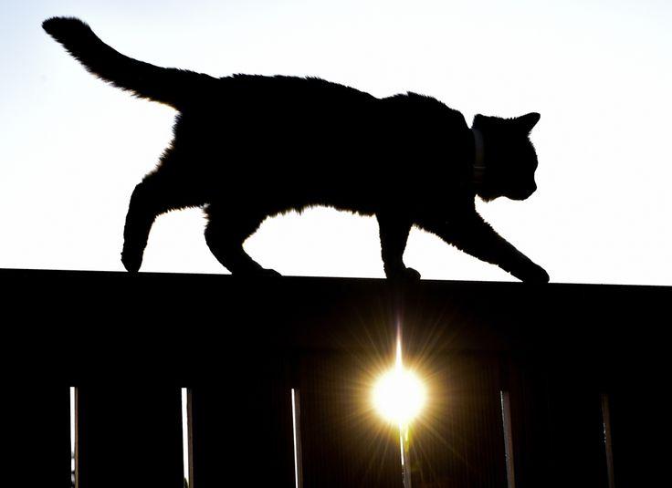 O pisică merge pe un gard în timp ce soarele apune, în Sieversdorf, Germania, vineri, 6 iunie 2014. (  Patrick Pleul / DPA / AFP  ) - See more at: http://zoom.mediafax.ro/news/cats-in-the-news-12976632#sthash.kVUHaMTi.dpuf