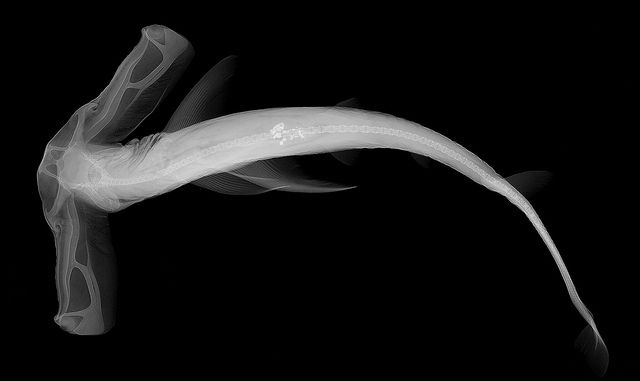 Eusphyra blochii - credit Sandra J. Raredon, Division of Fishes, NMNH by Smithsonian National Museum of Natural History, via Flickr: Hammerhead Sharks, Winghead Sharks, Sharks Eye, Sharks X Ray, Xray, X Ray Images, Fish Reveal, Distinct Form, Reveal Diver