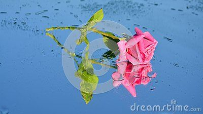 Pink Rose Reflections And Dew Drops - Download From Over 40 Million High Quality Stock Photos, Images, Vectors. Sign up for FREE today. Image: 56148606