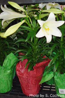 Plant the bulb of your Easter Lily after the blooms fall off and other care advice.