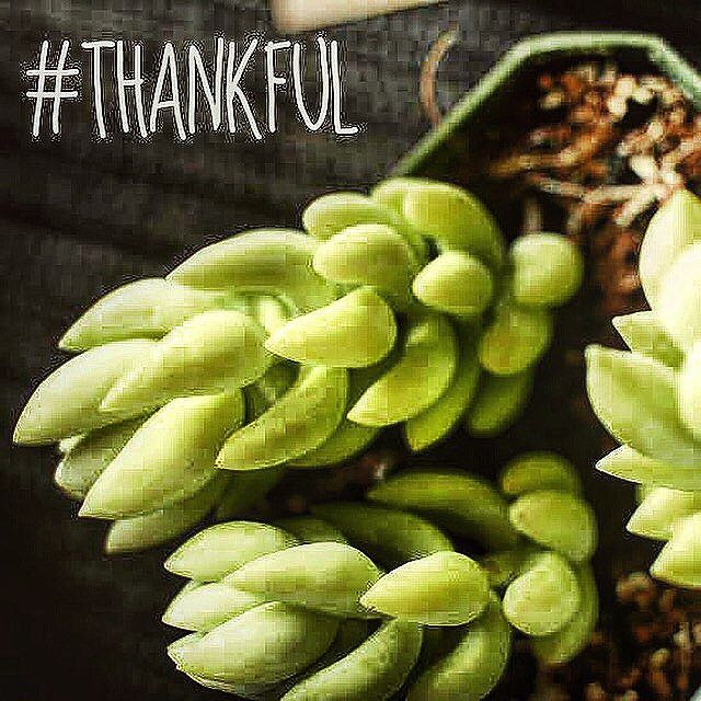 #thankful #BHGCelebrate #donkeytail what is your favorite plant? They make great gifts from $5 to $40 find us this Saturday two plant pop up events . Then again Sunday in va beach @thegreencatva