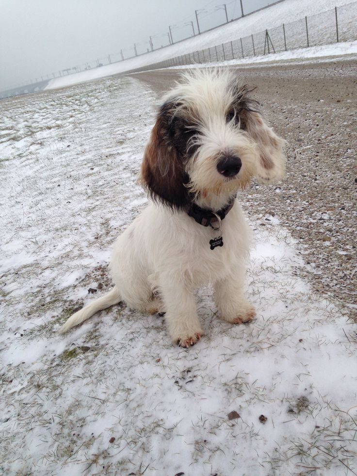 1000 images about cute dogs and more on pinterest - Petit basset griffon vendeen breeders toulon ...