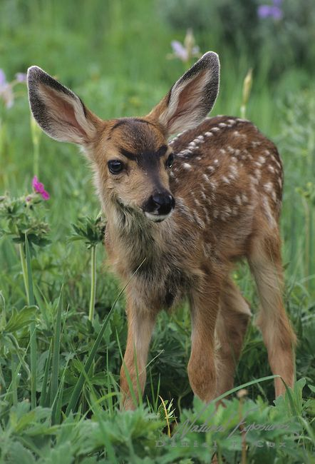 Mule Deer (Odocoileus hemionus) fawn in Montana.