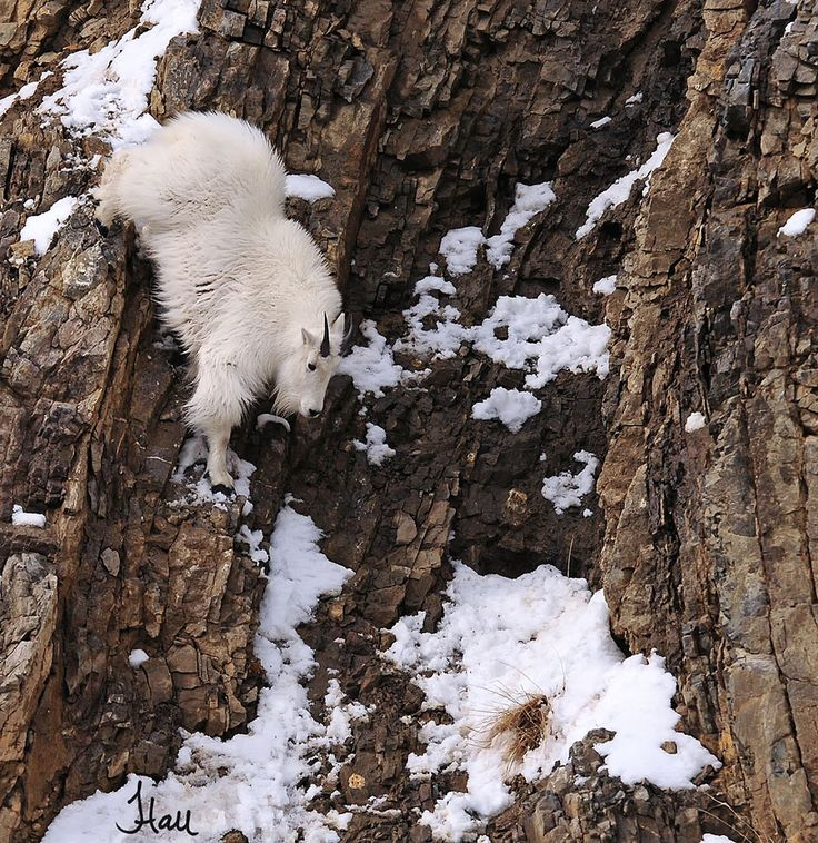 These 36 Goats On Cliffs Don't Know What Fear Is   Bored Panda