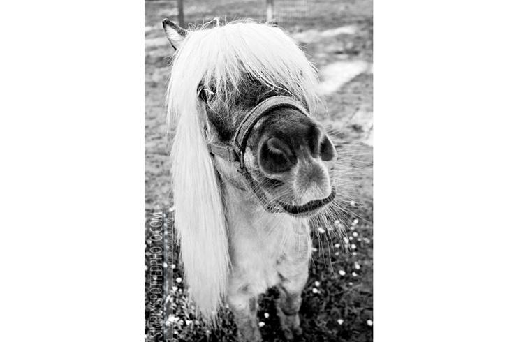 Miniature Horse: Miniatures, Aussies, Miniature Horses, Art, Horse Photography, Blog