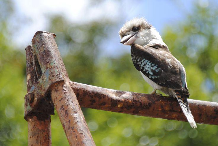 One of Australia's favourites :) #Kookaburra #Australia
