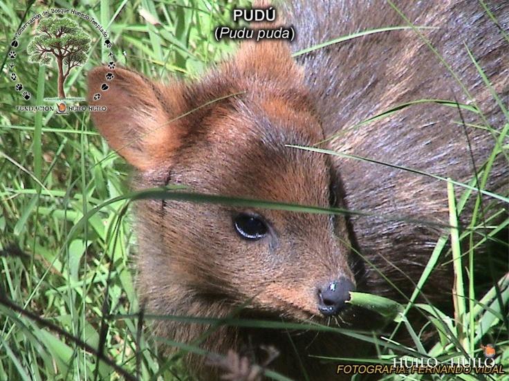 Fauna Huilo Huilo