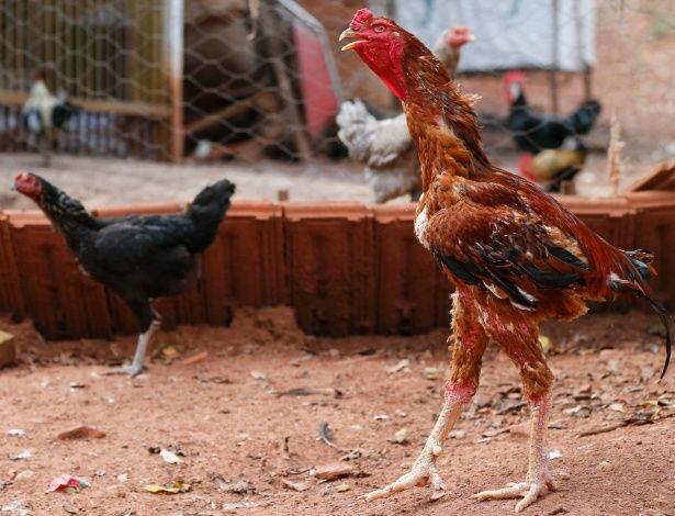 O galo índio gigante pode alcançar mais de um metro de altura. Os ovos mais vendidos pelo criador Mario Salvati, de Porto Ferreira (SP), são os produzidos pelas galinhas dessa raça brasileira