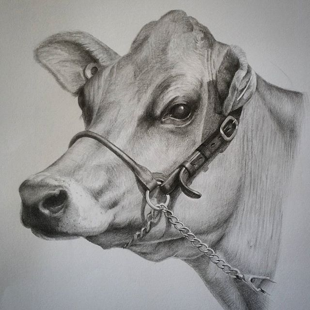 Cow art  Pencil drawing by Rebecca Simmonds  24 x 28 cm  see