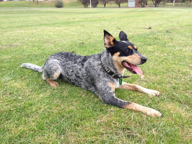 Kelpie / Blue Heeler cross Blue heeler, Aussie dogs, Heeler