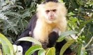 Visit the #Gamboa #Rain #Forest for a chance to see these cute little white faced #Capuchin #monkeys.   Contact Panama Roadrunner to arrange to see these cuties!  www.panamaroadrunner.com