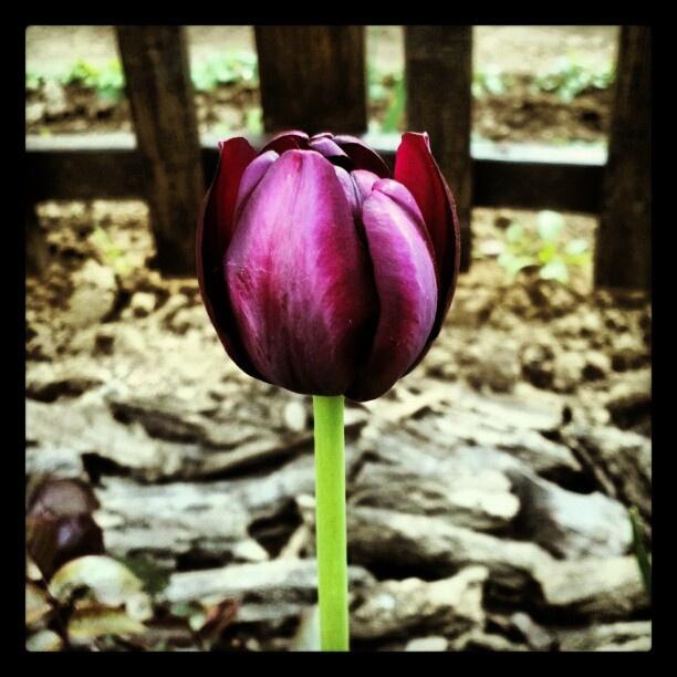 #virág #flower #tavasz