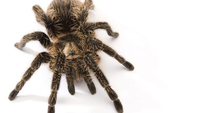 Tarantula rosa-chilena . A tarantula rosa-chilena é uma das aranhas de estimação mais populares, devido sua cor única e seu temperamento calmo. Ela também é muito mais barata que outas espécies de tarantulas. Apesar de sua popularidade, ela ainda é uma aranha e é necessário um grande cuidado ao torná-la um animal de estimação. Antes de comprar, certifique-se que você sabe ...