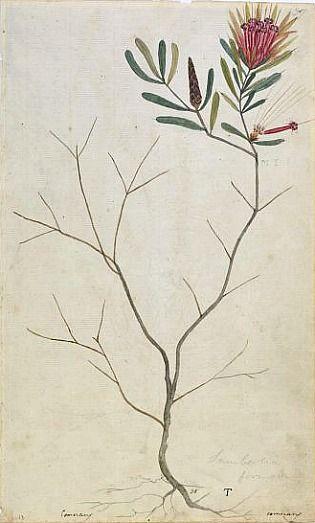 Unknown Australian artist, Mountain devil (lambertia formosa) plant of Botany Bay (1800)