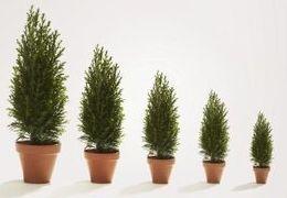 Comment prendre soin des arbres à feuilles persistantes