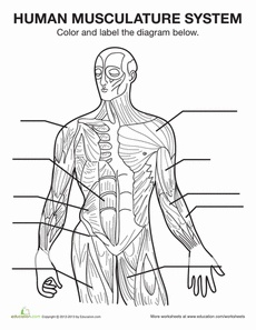 HSTE Project - The Muscular System - Key Word Worksheet