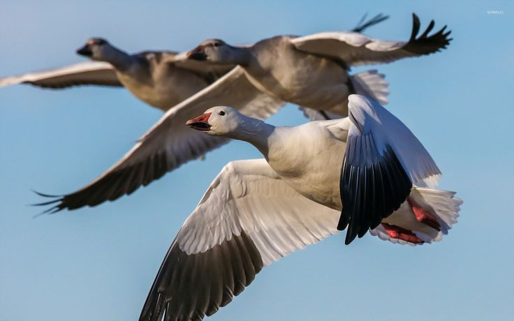 Best Snow goose migration ideas on Pinterest