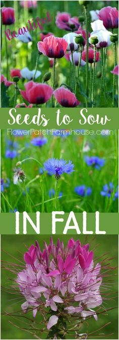 Fall is the right time to sow many flower seeds. Fall planting gets to tons of…