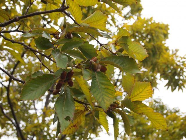 『志楽の湯』の敷地内の自然たち(どんぐり) Chest Nut Tree