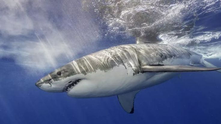 5 Amazing Facts About Shark Pregnancies  News  From cannibalism to clones here are 5 reasons sharks have mammals beat when it comes to pregnancy drama.  If you like our pins please follow us: http://ift.tt/2qGg6EH