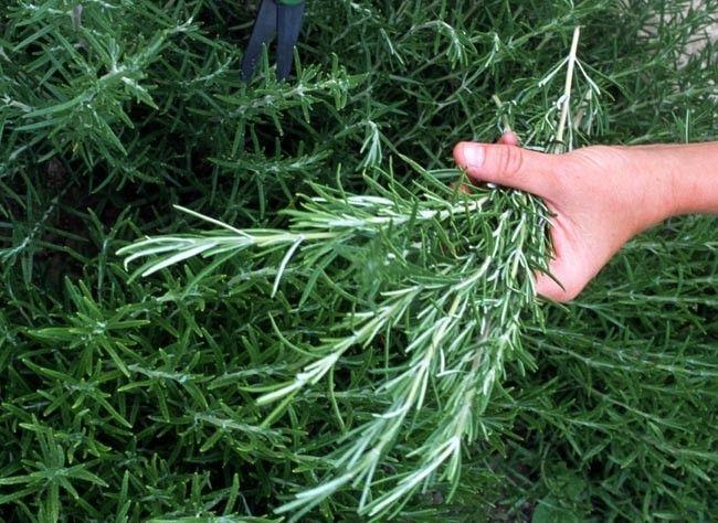 Le romarin est une plante aromatique d'origine méditerranéenne.