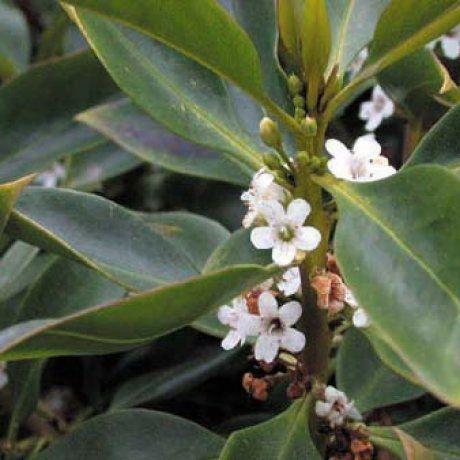 Myoporum laetum - Ngaio | Southern Woods