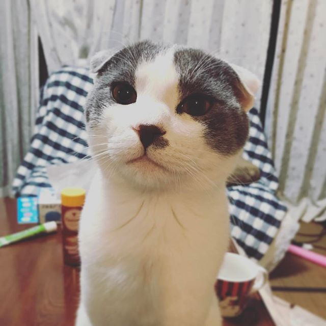蛍丸尊い His name is Hotarumaru. Boy was born last year. #スコティッシュフォールド  #scottishfold  #愛猫  #