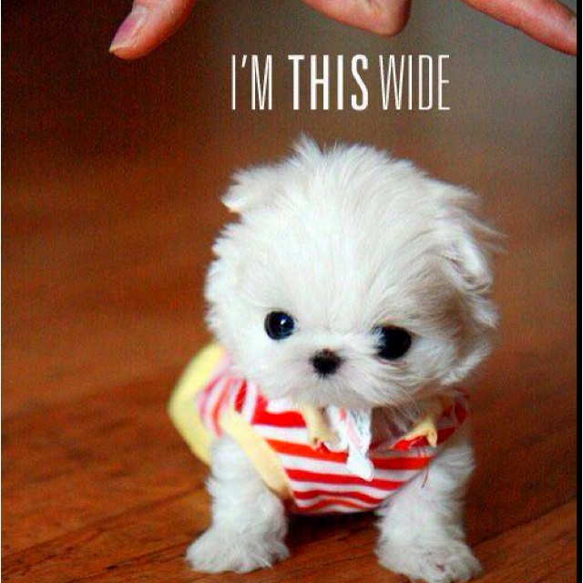 : Malt Terriers, Little Puppies, Maltese Puppies, So Cute, Malt Dogs, Be Real, Cutest Puppies, Tiny Puppies, Teacups Maltese