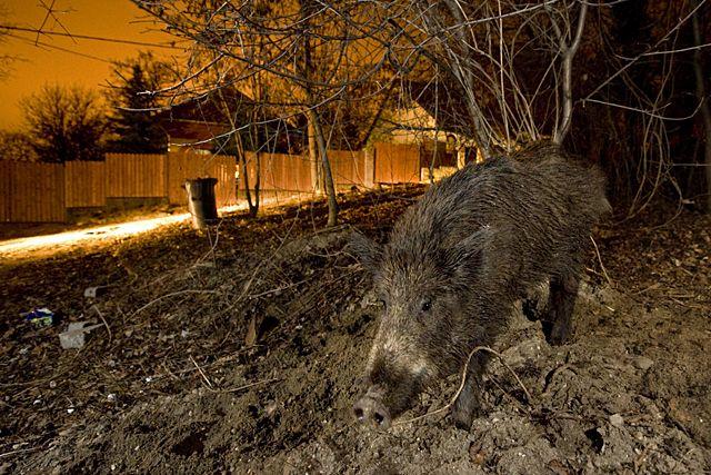 Évezredek óta együtt élünk az urbanizálódott állatokkal. Vannak, akik a városban építenek kotorékot, némelyikek csak táplálkozni járnak közénk, vagy vándorolva, télen látogatnak bennünket. Már annyira megszoktuk őket, hogy észre sem vesszük jelenlétüket, ám ez a kapcsolat olykor nem mentes a konfliktusoktól.
