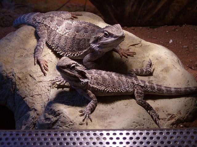 Certains vertébrés, tels ce mâle (en haut) et cette femelle (en bas) d'agames barbus, montrent des stratégies contrastées de détermination du sexe pouvant être de nature génétique ou environnementale. © Jackyweyen, Wikimedia Commons, cc by sa 3.0