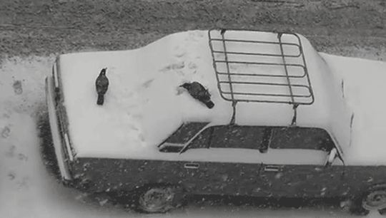 Crows Playing In The Snow My dear friend's now deceased husband had an affinity for crows. I'm sure this playful side is one of the reasons why.