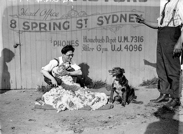 Sheep shearing demonstration - R.A. Rooney, shearing contractors (head office: 8 Spring Street, Sydney), c. 1930s, by Sam Hood - State Library of New South Whales #photography #vintage #historic #history #documentation #sheep #shearing #dog #australia #sydney