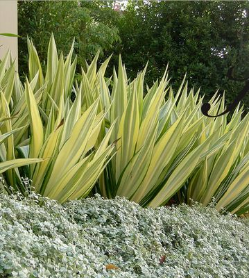 /\ /\ . Agave Variegata, Dicondra 'Silver Falls' example of combining contrasting leaf colors.Also a good example of how to mass plants.
