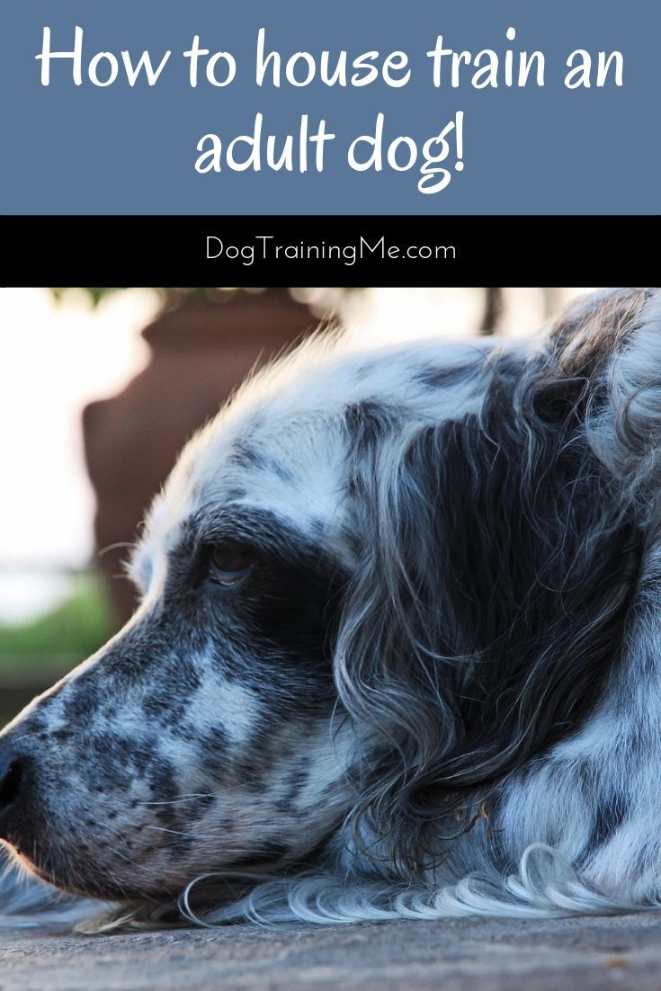 How To Stop Adult Dog Accidents Do You Need To House Train An