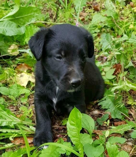 Susse Australian Shepherd Labrador Welpen Aussiedor In Bayern
