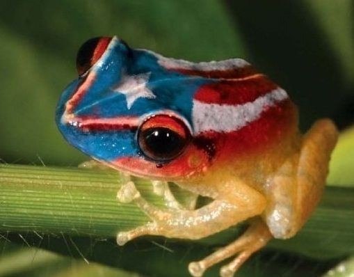 Puerto Rican coqui frog's mating call affected by climate change ...