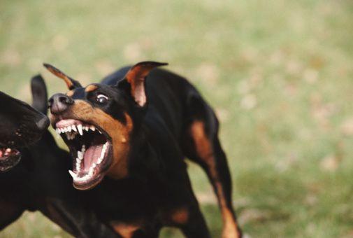 growling doberman - Google 검색   reference   Pinterest ... - photo#3