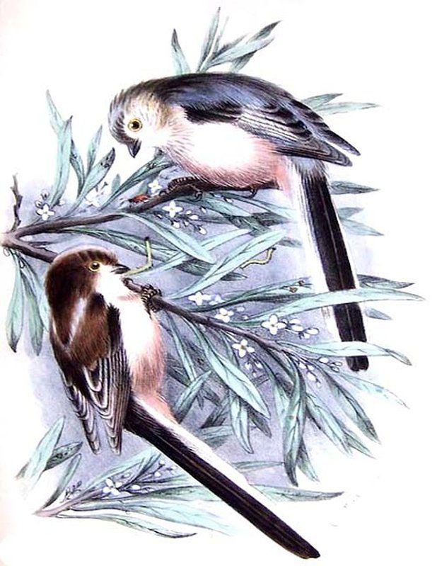 Mésange à longue queue - Aegithalos caudatus