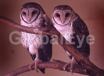 Twin barn owls. Two barn owls at roost...or ready to break into a song and dance routine. Photograph By Howard Birnstihl #BirdsPhotography