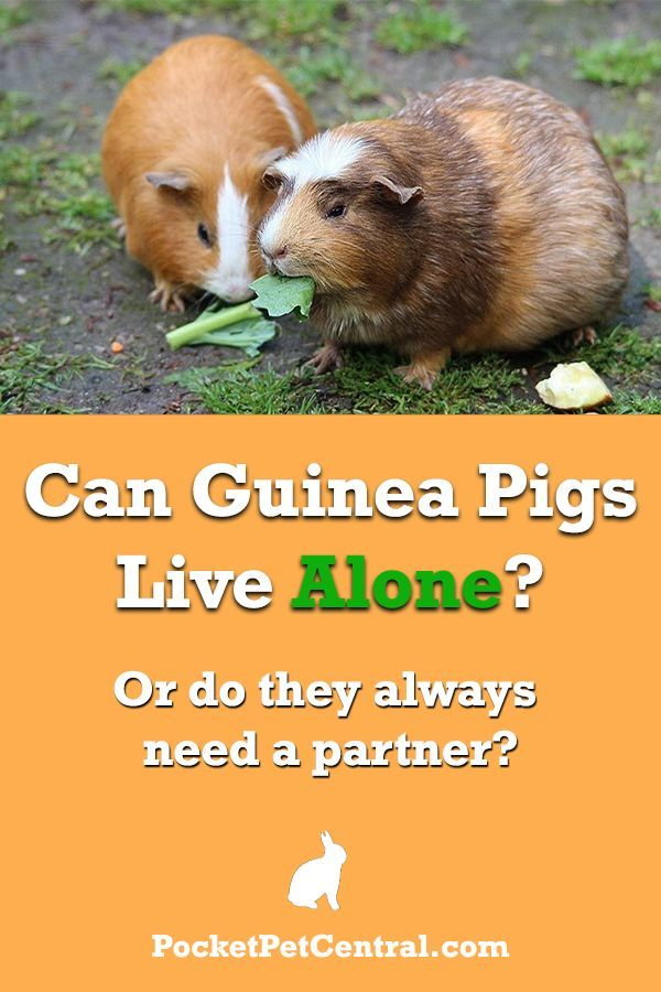 Can guinea pigs live alone? Do they always need another