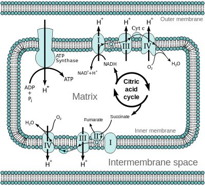 Oxidative phosphorylation - Wikipedia, the free encyclopedia= This is the complicated but highly necessary energy cycle that is greatly compromised in those with mitochondrial disease