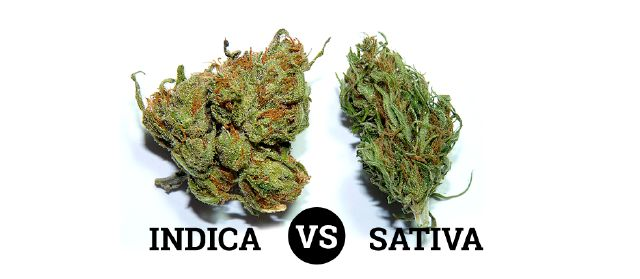 Growing Indicas vs Sativas A Short Guide.  Different strains of cannabis are available nowadays. The most common among these strains are the Cannabis indica and Cannabis sativa. Cannabis indica are short and bushy plants with characteristic dark green leaves that are broad.