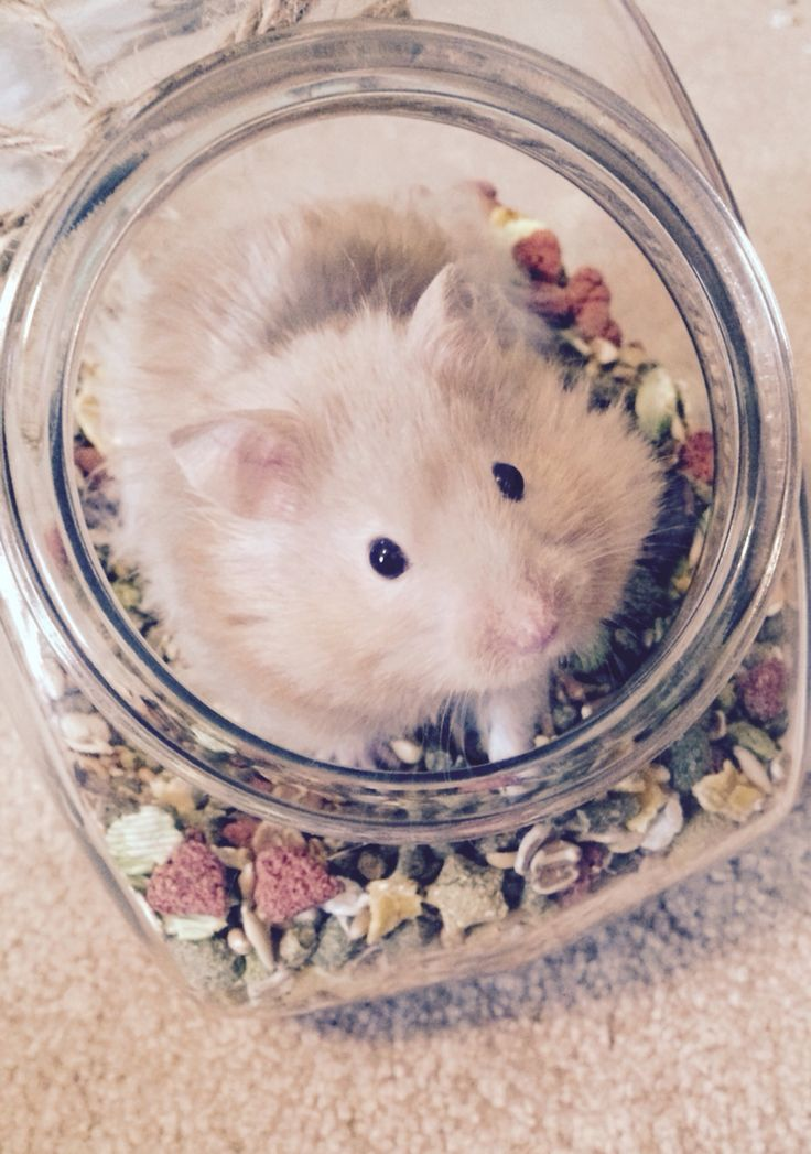 This is Reese my long haired Syrian hamster.