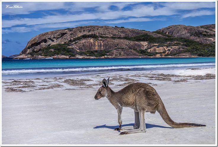 Kangaroo on the Beach, Esperance