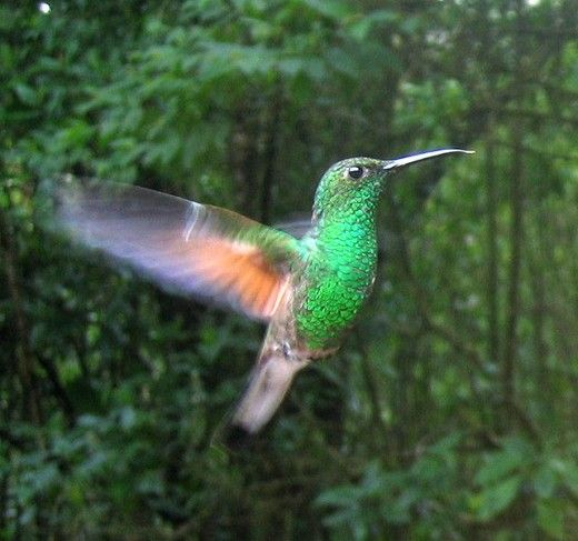15 Different Species Or Types Of Hummingbirds Amazon Birds Hummingbird Birds