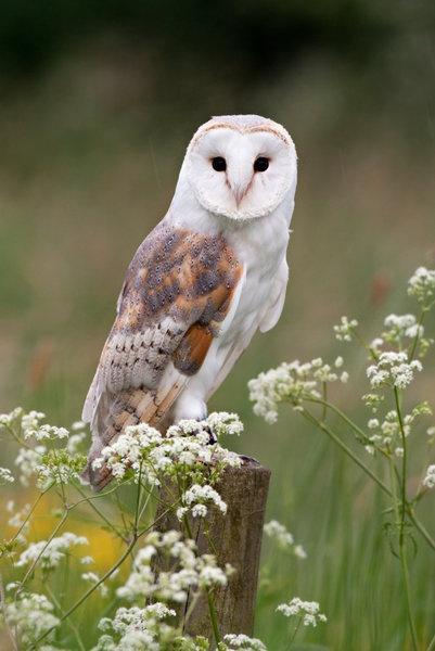 Barn owl (Tyto alba), kerkuil                                                                                                                                                      Mehr