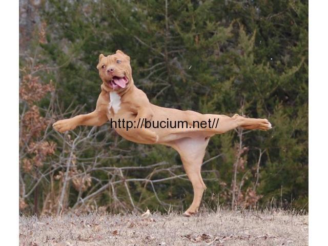Dresaj canin Sangeorgiu de Mures - Anunturi de mica publicitate