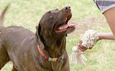 Chewing - Sometimes dogs need to chew. But how do you teach them what's okay to chew on? Click through for training tips! #DogTraining