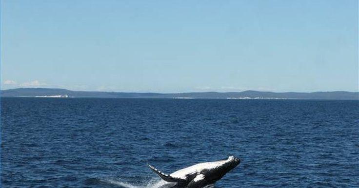 Como uma baleia se locomove no oceano?. O corpo liso e aerodinâmico de uma baleia é desenhado para deslizar suavemente no oceano, algumas vezes, com velocidade de 40 km/h. O poderoso golpe da poderosa cauda de uma baleia se move de cima para baixo para impulsioná-la na água; a cauda de um peixe se move de lado a lado. Já que a baleia é um mamífero, ela respira ar e deve subir ...