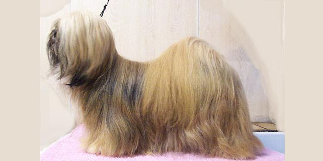 Lhasa Apso, The Wooly Tibetan Dog | DoggyZoo.com